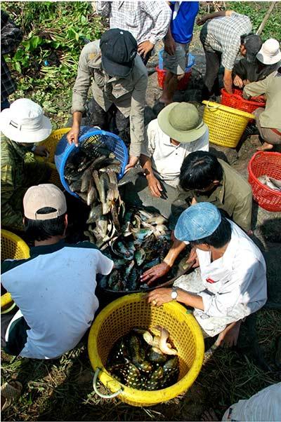 Chùm ảnh: Nông dân Cà Mau chụp đìa cá đồng ngày Tết - 5