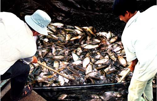 Chùm ảnh: Nông dân Cà Mau chụp đìa cá đồng ngày Tết - 4