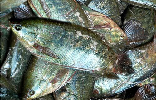 Chùm ảnh: Nông dân Cà Mau chụp đìa cá đồng ngày Tết - 7