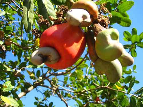 Bình Phước: Người trồng điều ăn Tết vội - 2