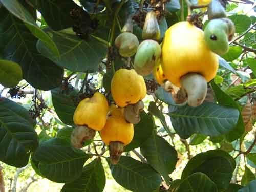 Bình Phước: Người trồng điều ăn Tết vội - 1