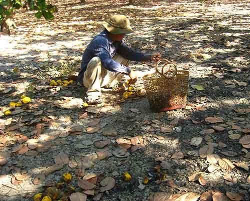 Bình Phước: Người trồng điều ăn Tết vội - 4