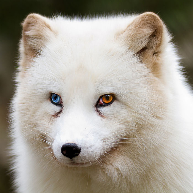 Một con cáo với mắt bên phải màu xanh biển, bên trái màu vàng đồng.