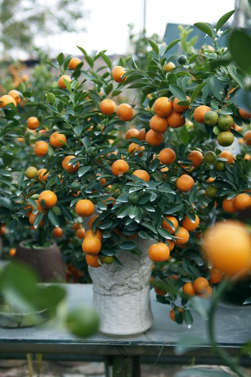 """""""Điểm mặt"""" những cây cảnh bonsai hút tiền dịp Tết Ất Mùi - 6"""