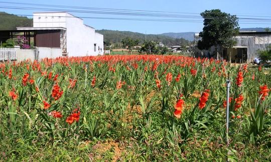 Nông dân cắn răng nhổ hoa lay-ơn cho bò ăn - 1