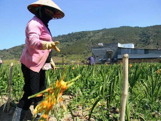 Nông dân cắn răng nhổ hoa lay-ơn cho bò ăn - 2