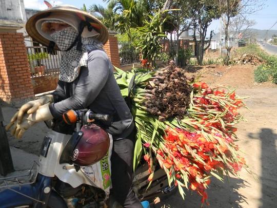 Nông dân cắn răng nhổ hoa lay-ơn cho bò ăn - 3