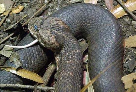 Sự thật về 11 loài rắn cực độc trên thế giới - 4