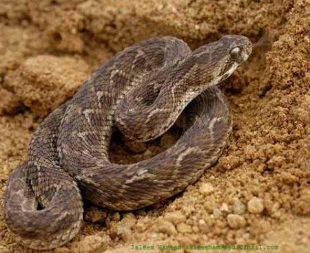 Sự thật về 11 loài rắn cực độc trên thế giới - 5