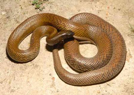 Sự thật về 11 loài rắn cực độc trên thế giới - 1