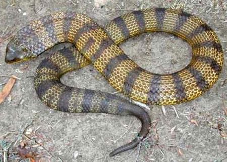 Sự thật về 11 loài rắn cực độc trên thế giới - 7