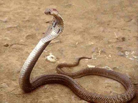 Sự thật về 11 loài rắn cực độc trên thế giới - 6