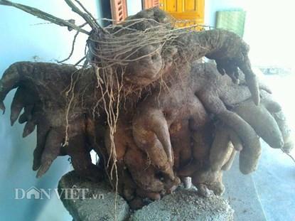 Đào được củ khoai vạc nửa tạ trong vườn - 1