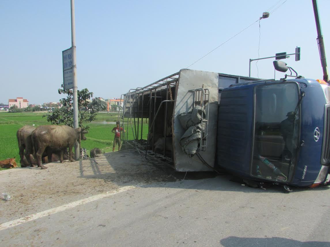 Xe chở bị lật, trâu, bò chạy tán loạn trên đường - 1