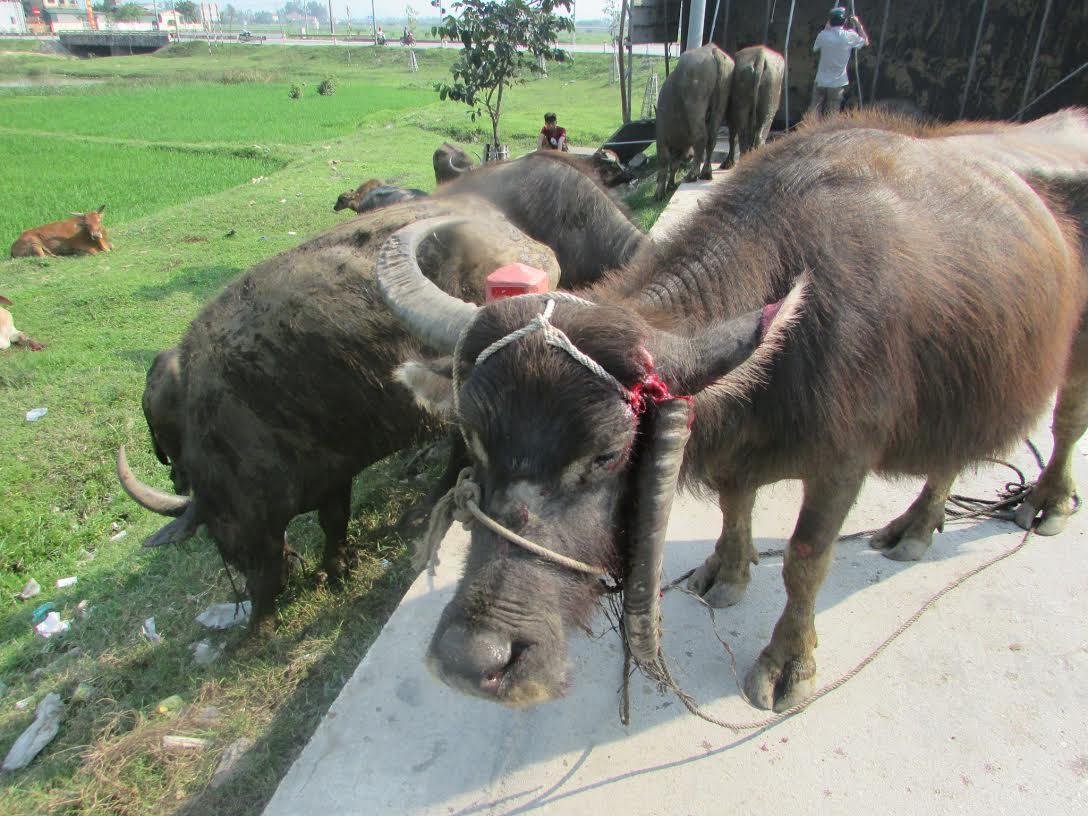 Xe chở bị lật, trâu, bò chạy tán loạn trên đường - 3