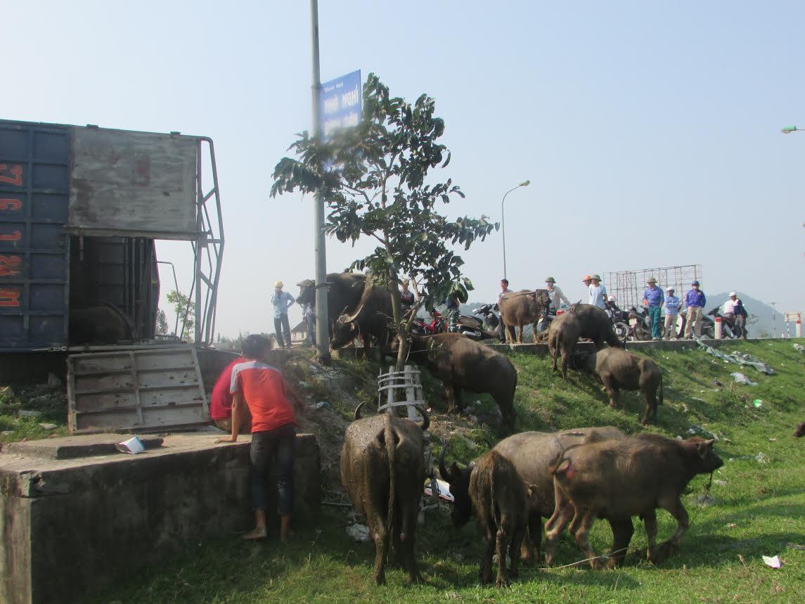 Xe chở bị lật, trâu, bò chạy tán loạn trên đường - 2