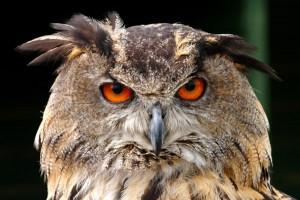 Hà Lan: Cả thị trấn khiếp hãi vì bị chim cú tấn công