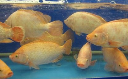 Cá điêu hồng nấu canh khóm, món ngon đất Tiền Giang - 1