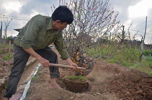 Đào Nhật Tân ùn ùn trở lại vườn sau Tết - 10
