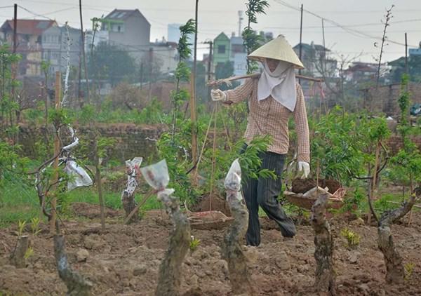 Đào Nhật Tân ùn ùn trở lại vườn sau Tết - 7