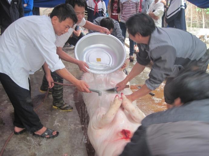 """Chuyện mắc màn nuôi """"ông lợn"""" ở một làng quê Hà Nội - 2"""