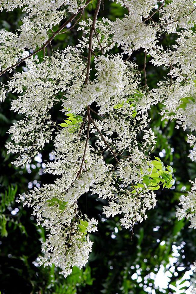 Hàng năm, cứ mỗi độtháng bavề là Hà Nội lại bước vào nhữngmùa hoa ban, hoa sưa…