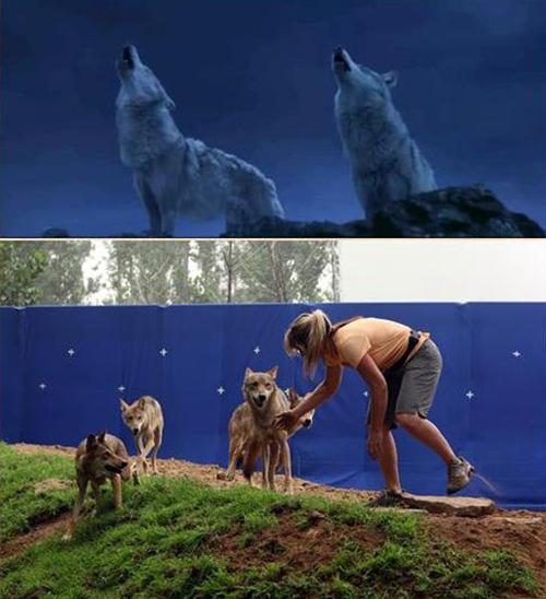 """Khám phá đoàn phim """"sống chung"""" với 35 chú sói - 4"""