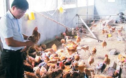 Kỹ sư trẻ bỏ lương chục triệu về quê nuôi gà - 1