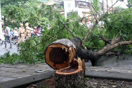 Hà Nội: Không chặt hạ gần 4.000 cây sưa - 1