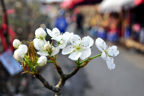 Hết Tết, hoa lê rừng giá bạc triệu vẫn hút khách Thủ đô - 7