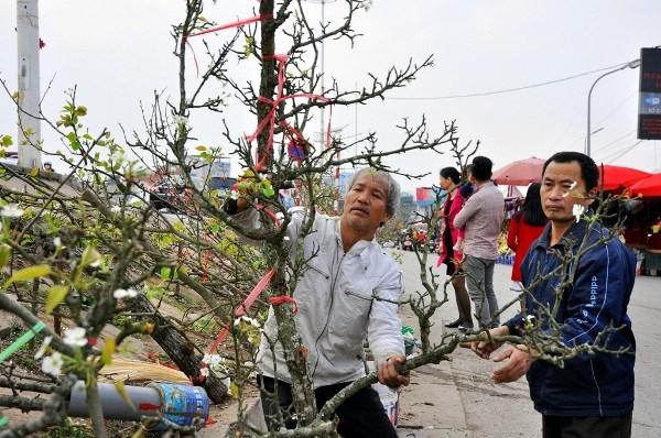 Hết Tết, hoa lê rừng giá bạc triệu vẫn hút khách Thủ đô - 13
