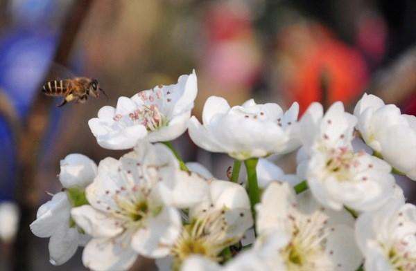 Hết Tết, hoa lê rừng giá bạc triệu vẫn hút khách Thủ đô - 8
