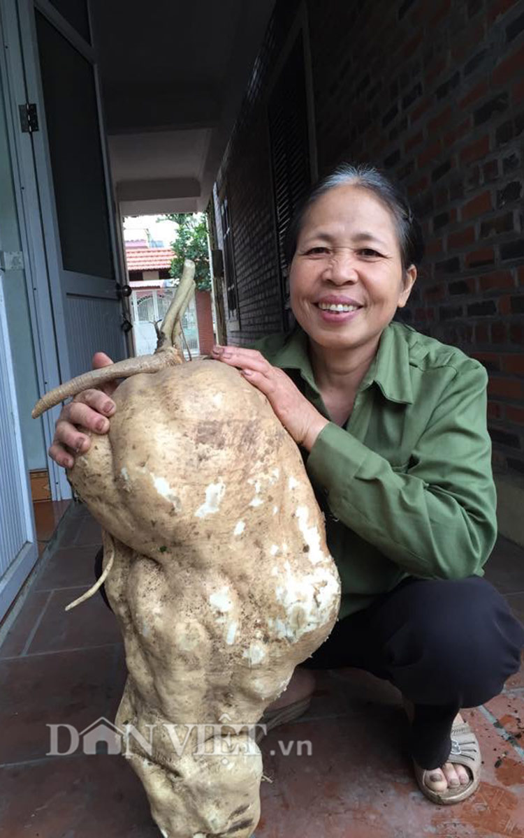 """Đi tưới rau, đào được củ đậu """"khủng"""" 15kg - 3"""