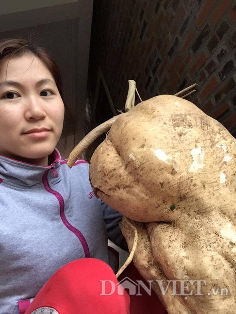 """Đi tưới rau, đào được củ đậu """"khủng"""" 15kg - 4"""