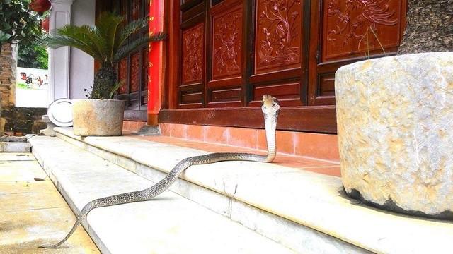 Vượng râu hoảng hốt khi thấy rắn hổ mang xuất hiện ở phủ thờ - 1