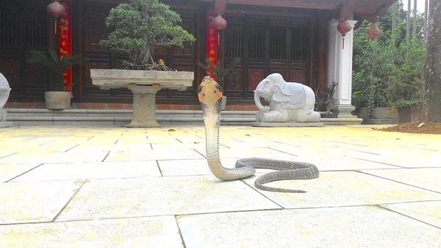 Vượng râu hoảng hốt khi thấy rắn hổ mang xuất hiện ở phủ thờ - 2