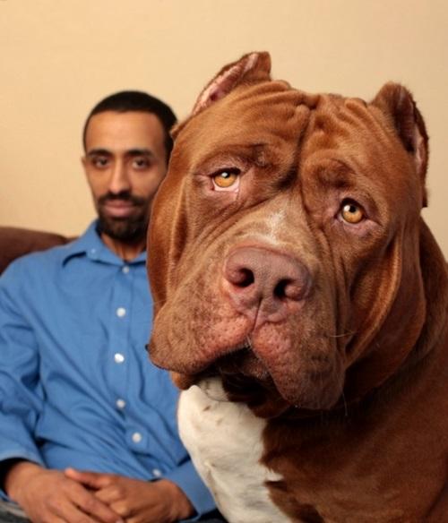 Video: Chú chó pitbull lớn nhất thế giới nặng 80kg - 2