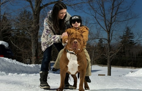 Video: Chú chó pitbull lớn nhất thế giới nặng 80kg - 3