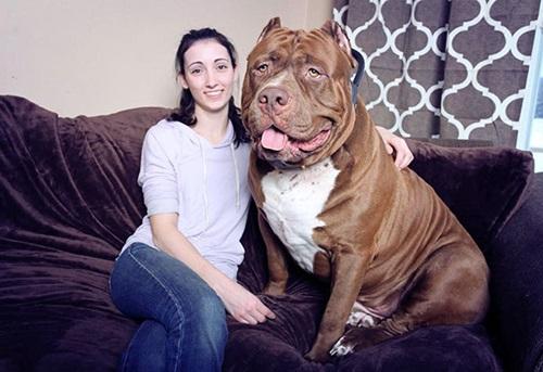 Video: Chú chó pitbull lớn nhất thế giới nặng 80kg - 5