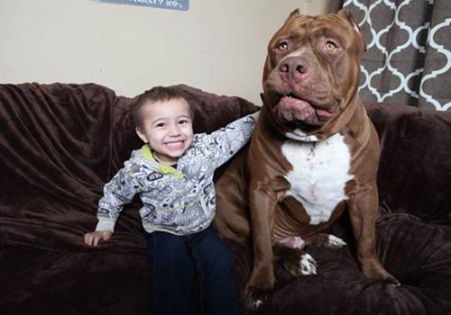Video: Chú chó pitbull lớn nhất thế giới nặng 80kg - 4
