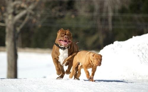 Video: Chú chó pitbull lớn nhất thế giới nặng 80kg - 9