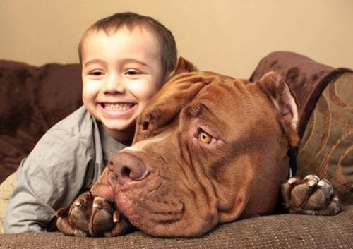 Video: Chú chó pitbull lớn nhất thế giới nặng 80kg - 10