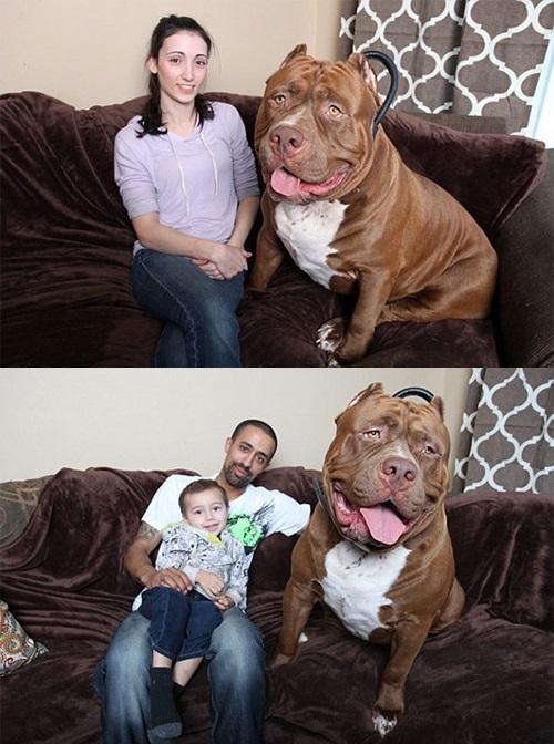 Video: Chú chó pitbull lớn nhất thế giới nặng 80kg - 11