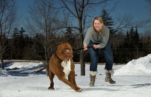 Video: Chú chó pitbull lớn nhất thế giới nặng 80kg - 12