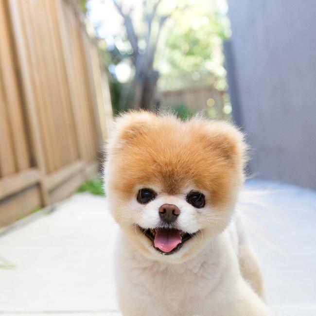 Boo được mệnh danh là chú chó dễ thương và đáng yêu nhất trên thế giới.