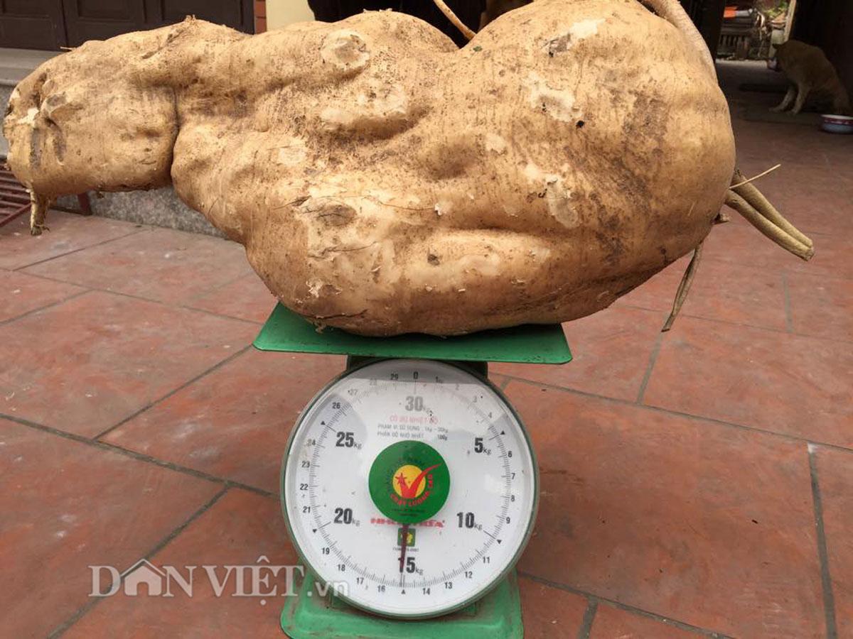 """Đi tưới rau, đào được củ đậu """"khủng"""" 15kg - 2"""
