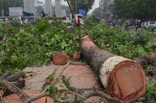 """Hà Nội chặt hạ 6.700 cây xanh: """"Hầu hết người dân ủng hộ"""" - 1"""