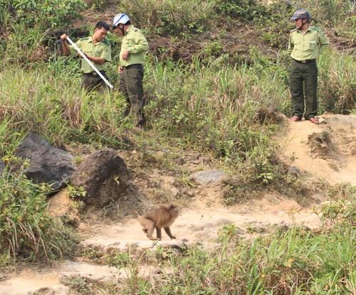 Hàng chục kiểm lâm vây bắt con khỉ tấn công khách quốc tế - 2