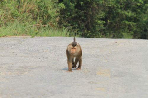 Hàng chục kiểm lâm vây bắt con khỉ tấn công khách quốc tế - 4