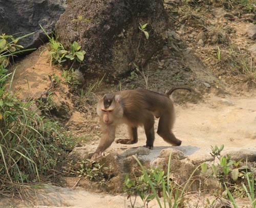 Hàng chục kiểm lâm vây bắt con khỉ tấn công khách quốc tế - 3